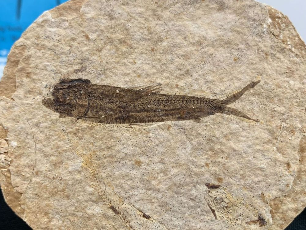 Fossil Fish, Green River Formation #24