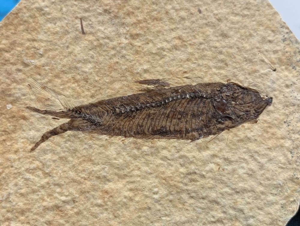 Fossil Fish, Green River Formation #28