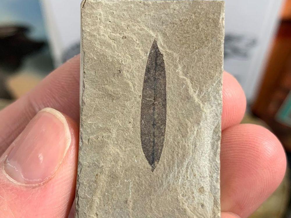 Fossil Leaf, Green River Formation #01
