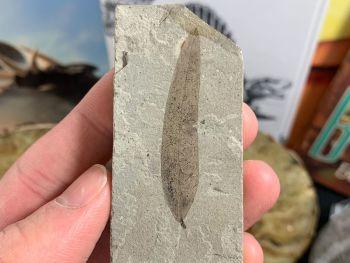 Fossil Leaf, Green River Formation #03