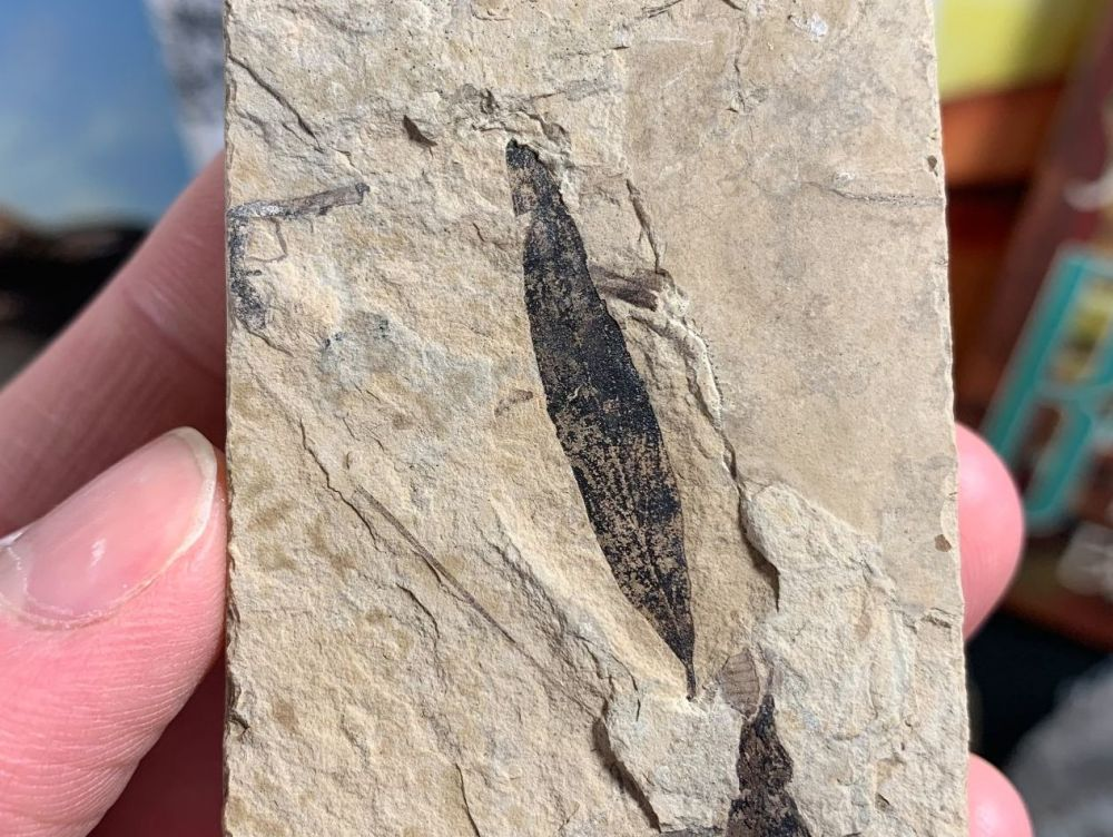 Fossil Leaf, Green River Formation #04
