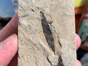 Fossil Leaf, Green River Formation #04