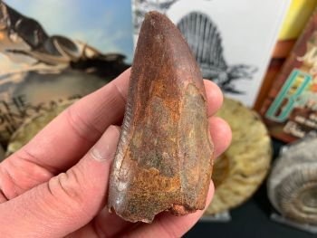 Carcharodontosaurus Tooth - 3 inch #CT01