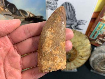 Carcharodontosaurus Tooth - 3.13 inch #CT02