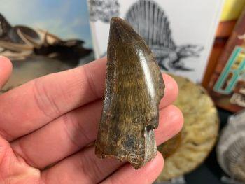 Carcharodontosaurus Tooth - 2.44 inch #CT03