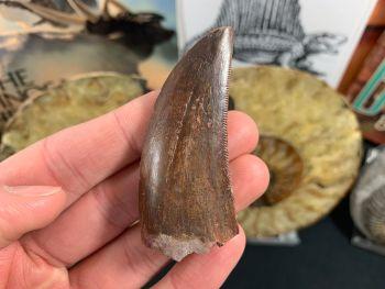 Carcharodontosaurus Tooth - 2.38 inch #CT04