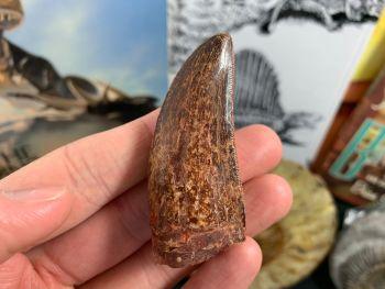 Carcharodontosaurus Tooth - 2.38 inch #CT05
