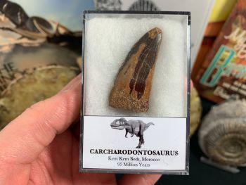 Carcharodontosaurus Tooth - 1.63 inch #CT07