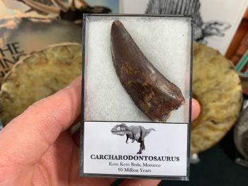 Carcharodontosaurus Tooth - 2.03 inch #CT09