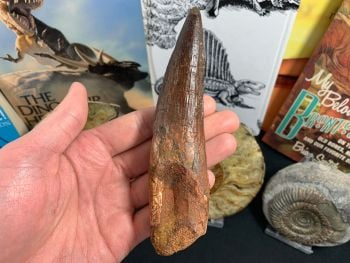 Enormous Spinosaurus Tooth - 5.56 inch