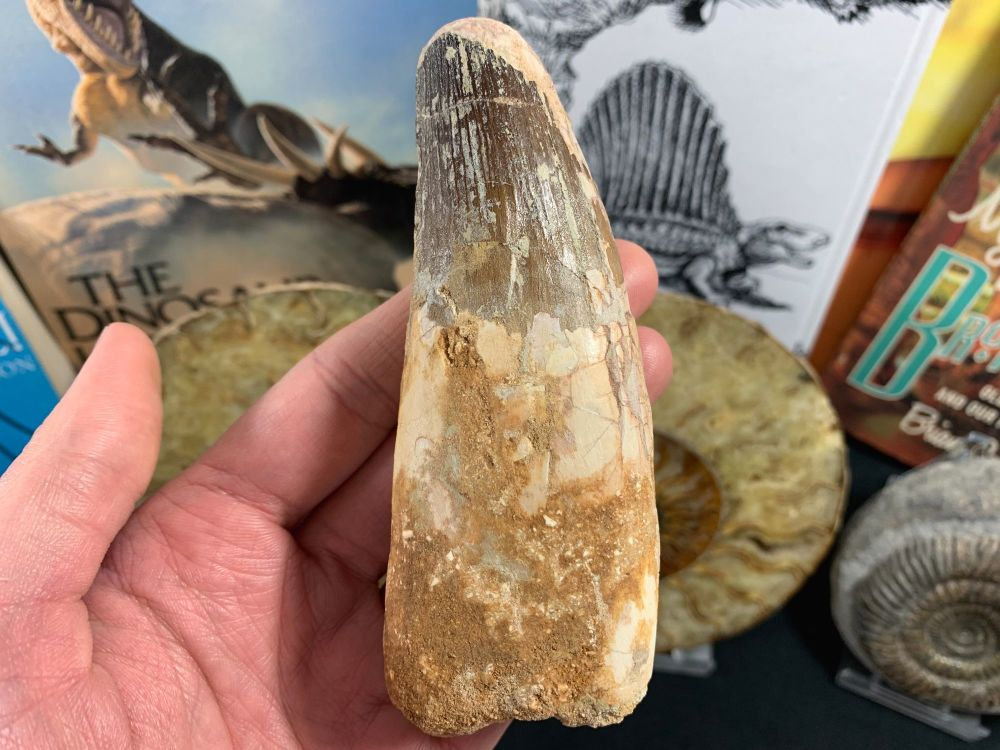 Spinosaurus Tooth - 4.5 inch #SP51