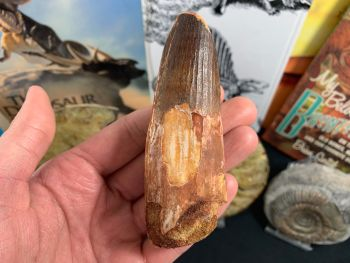 HUGE Spinosaurus Tooth - 4.19 inches #SP33