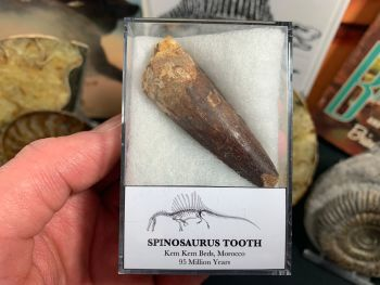 Spinosaurus Tooth - 2.31 inch #SP12
