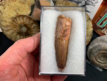 Spinosaurus Tooth - 2.69 inch #SP16