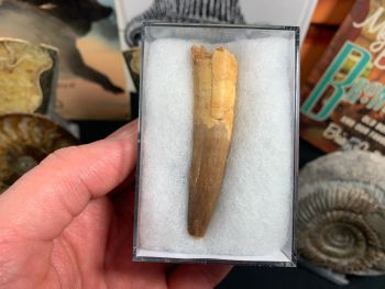 Spinosaurus Tooth - 2.63 inch #SP18