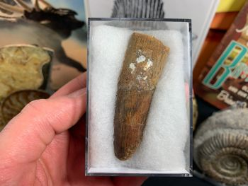 Spinosaurus Tooth - 2.63 inch #SP19