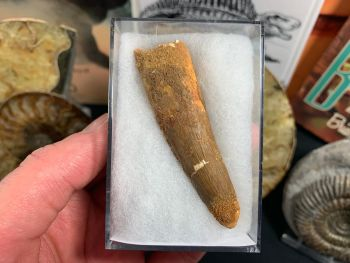 Spinosaurus Tooth - 2.88 inch #SP20
