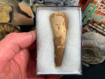 Spinosaurus Tooth - 2.5 inch #SP21