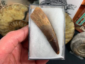 Spinosaurus Tooth - 2.88 inch #SP23