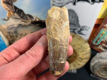 Spinosaurus Tooth - 3.31 inch #SP25