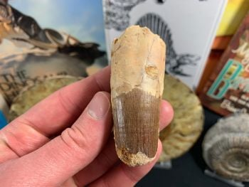 Spinosaurus Tooth - 2.63 inch #SP26