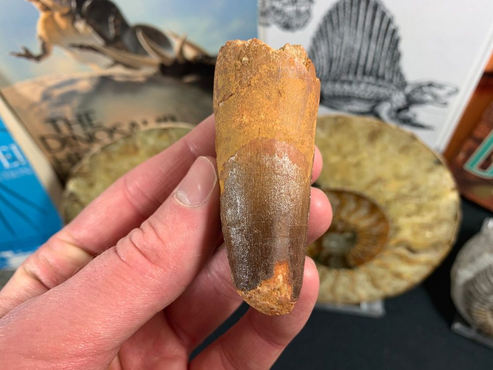 Spinosaurus Tooth - 2.63 inch #SP27
