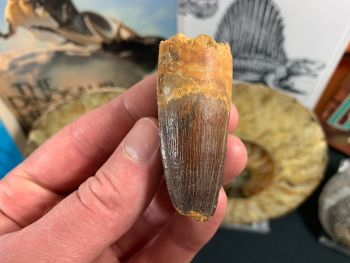 Spinosaurus Tooth - 2.25 inch #SP28