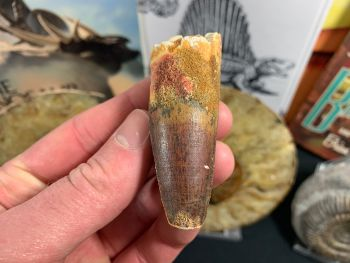 Spinosaurus Tooth - 2.56 inch #SP29