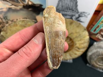 Spinosaurus Tooth - 2.88 inch #SP30