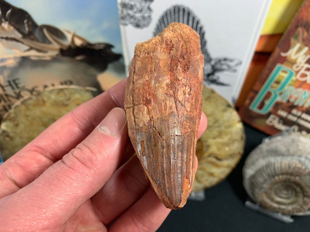Spinosaurus Tooth - 3.25 inch #SP31