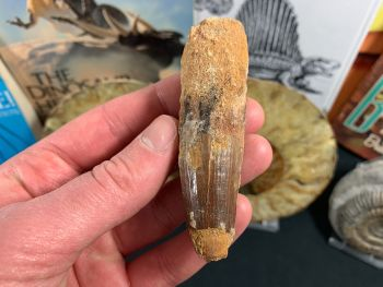 Spinosaurus Tooth - 3.13 inch #SP32