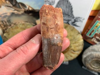 Spinosaurus Tooth - 3.06 inch #SP34
