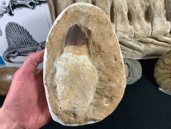 HUGE Rooted Mosasaur Tooth (5.25 inches), Morocco