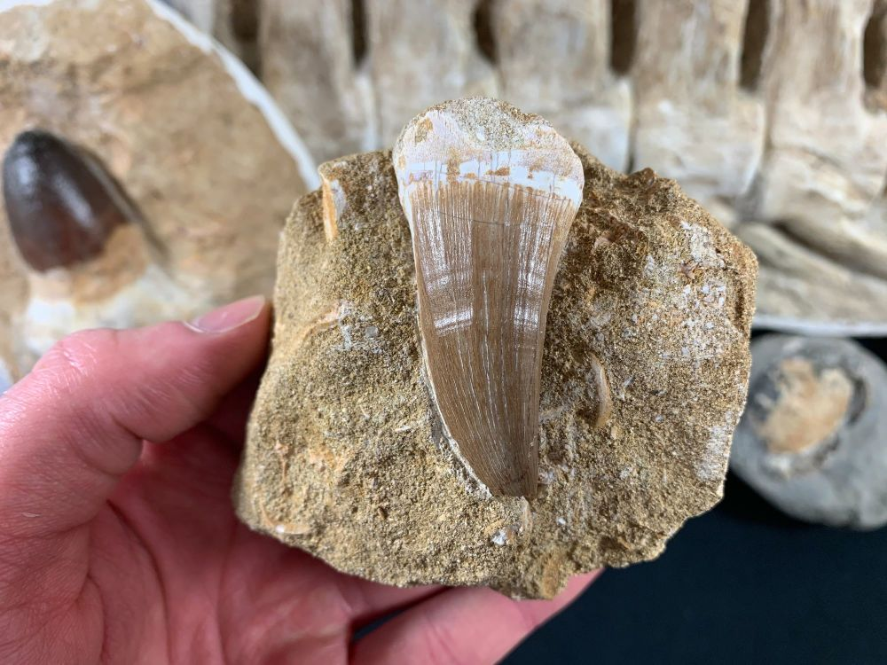 Large Mosasaur Tooth on Matrix #04