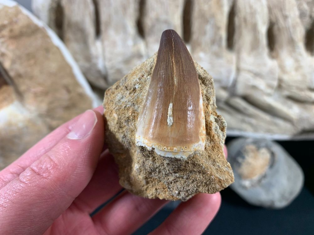 Large Mosasaur Tooth on Matrix #08
