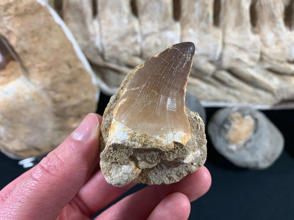 Large Mosasaur Tooth on Matrix #09