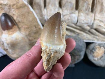 Large Mosasaur Tooth on Matrix #10
