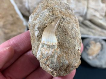 Rooted Mosasaur Tooth on Matrix #01