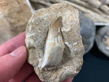 Rooted Mosasaur Tooth on Matrix #03