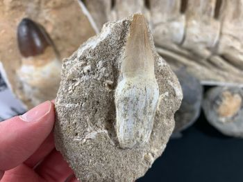 Rooted Mosasaur Tooth on Matrix #04