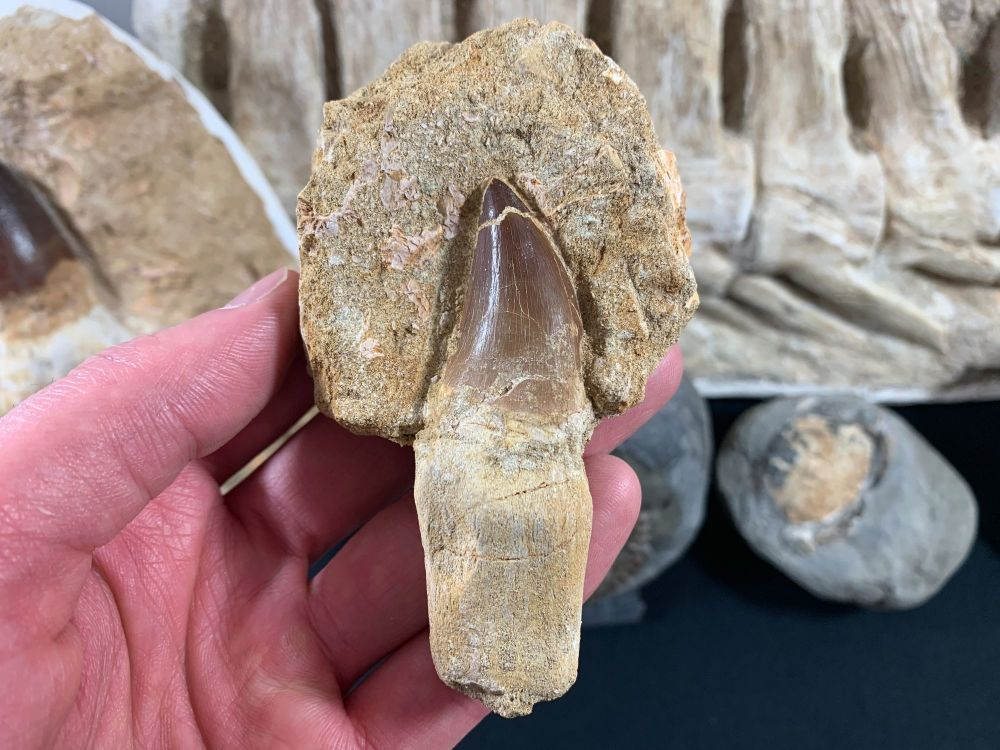 Rooted Mosasaur Tooth on Matrix #08