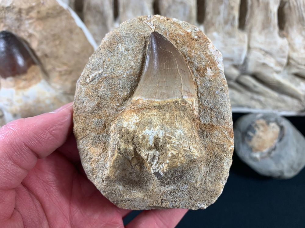 Rooted Mosasaur Tooth on Matrix #09