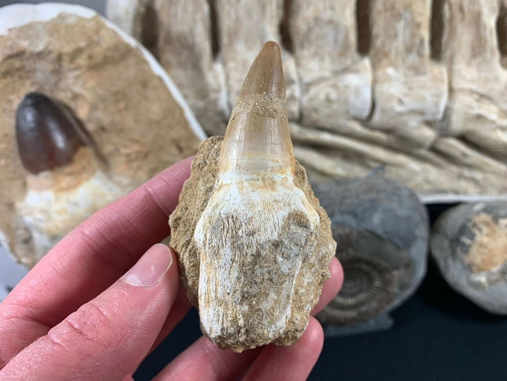 Rooted Mosasaur Tooth on Matrix #10