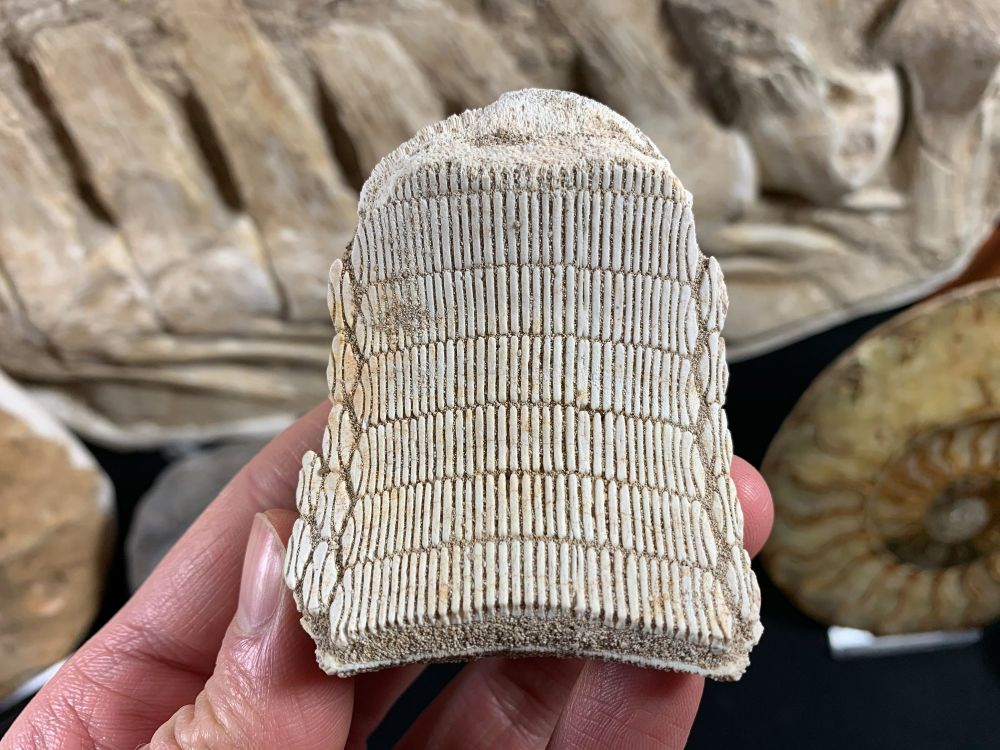 Myliobatis Ray Tooth Plate