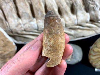 Large Crocodile Tooth, 2.5 inch (Khouribga, Morocco)
