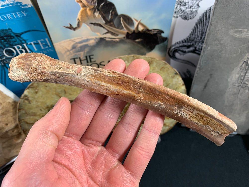 Dinosaur/Crocodile Rib (Kem Kem, Morocco)