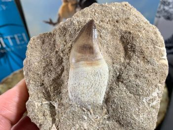 Rooted Mosasaur Tooth on Matrix #12