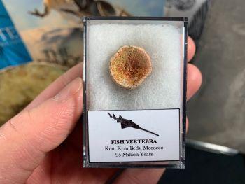 Fish Vertebra (Kem Kem, Morocco) #02