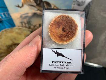 Fish Vertebra (Kem Kem, Morocco) #04