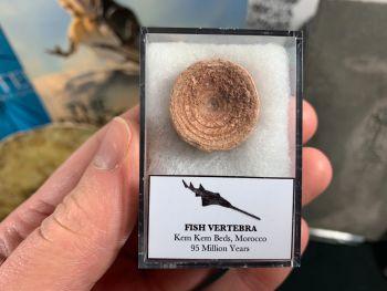 Fish Vertebra (Kem Kem, Morocco) #08